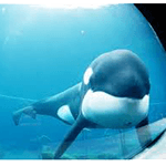 Picture of Keiko whale, Free Willy film